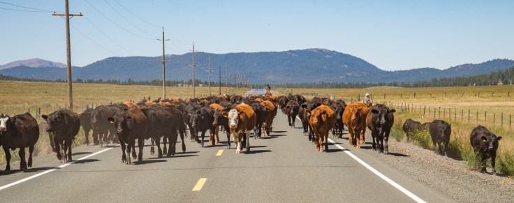 Cattle herd traffic jam photo by Allan J Jones
