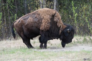 Wood Bison Alaska Highway, Photo by Allan J Jones