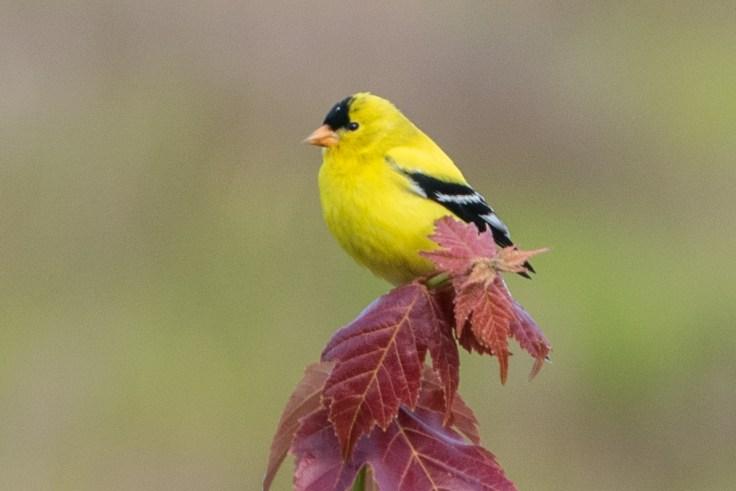 American Goldfinch photo by Allan J Jones