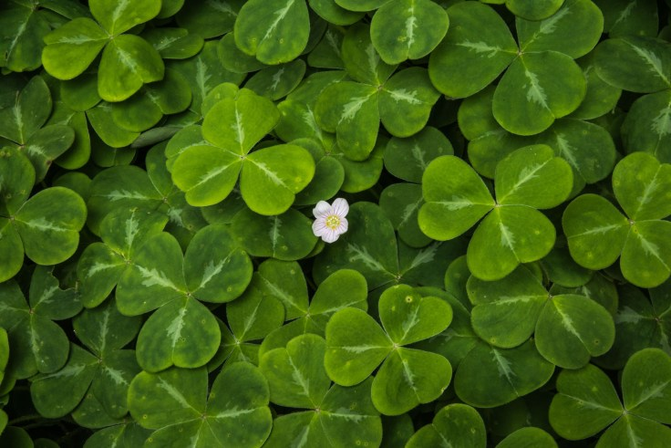 Oxalis, Bloedel Reserve by Allan J Jones Photographer