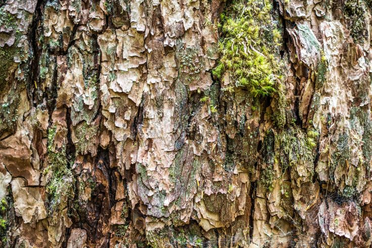 Bark on East Fork Quinault Olympic National Park by Allan J Jones Photography