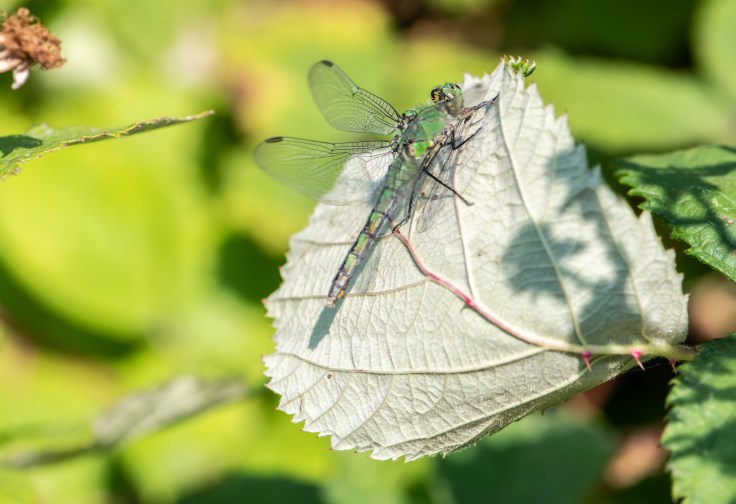Female Western Pondhawk by Allan J Jones Photography