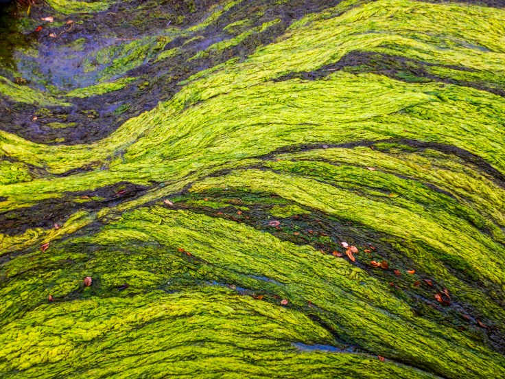 Capitol Lake Algae by Allan J Jones Photography