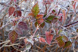 Frost on Blackberries by Allan J Jones Photography