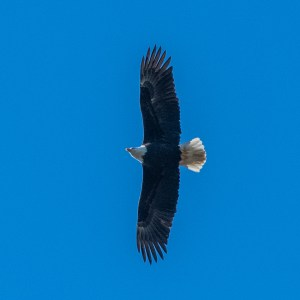 Eagle in Flight by Allan J Jones Photography