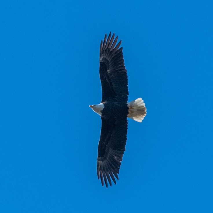 Eagle fly by by Allan J Jones Photography