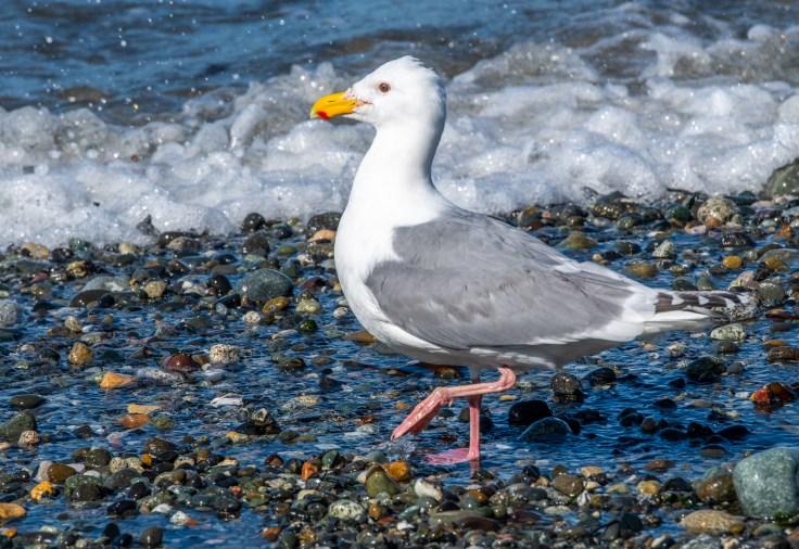 Western Gull by Allan J Jones Photography
