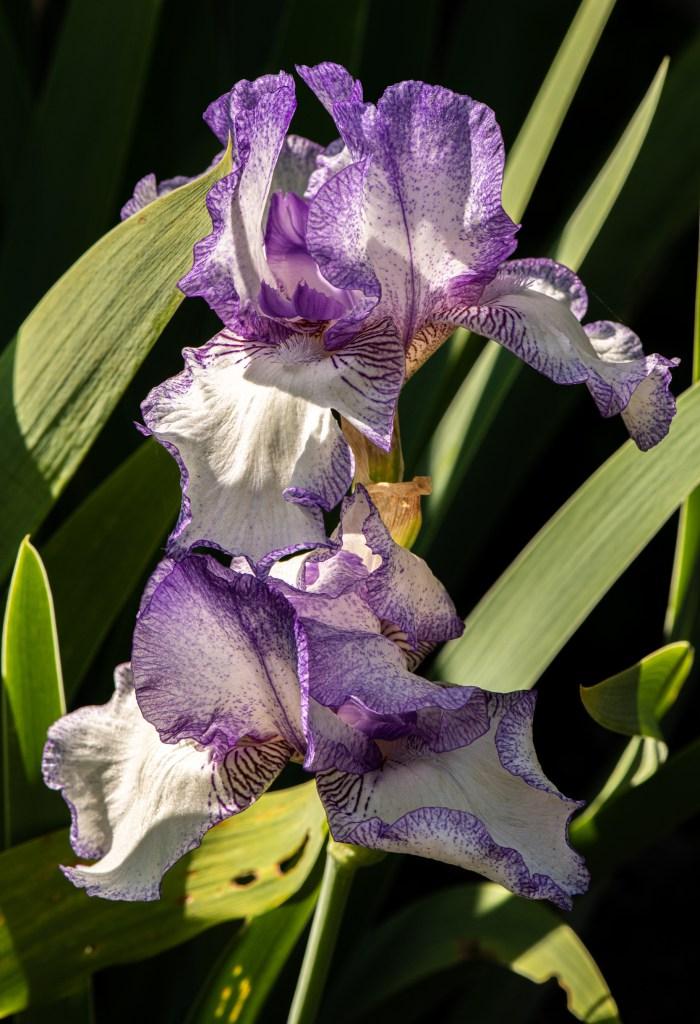 Iris by Allan J Jones Photography