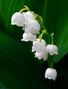 bell-like white flowers of lily-of-the-valley