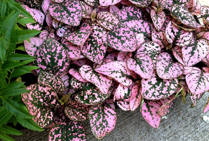 pink splashes on green leaves of the polka dot plant