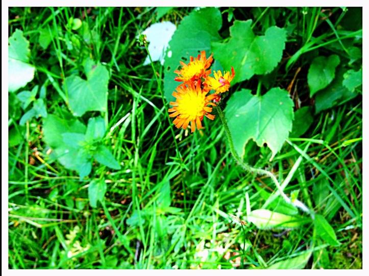 Hawk weed (Hieracium aurantiacum)