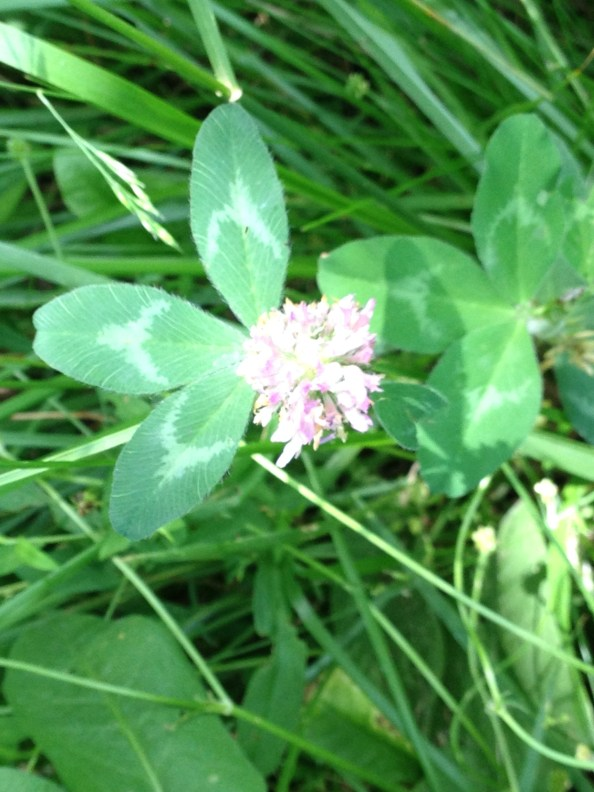 Clover mixed in a grass lawn