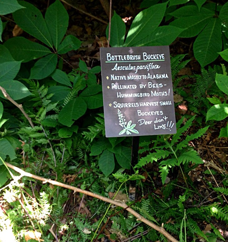 Photo of Bottlebrush buckeye (Aesculus parviflora)