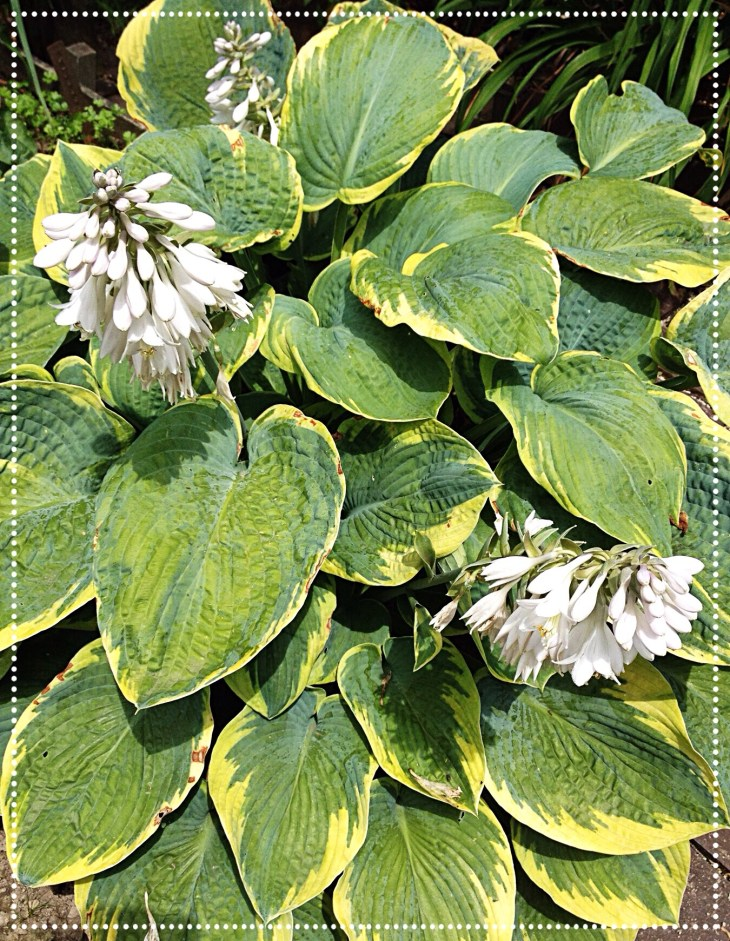 photo of Hosta Francis Williams