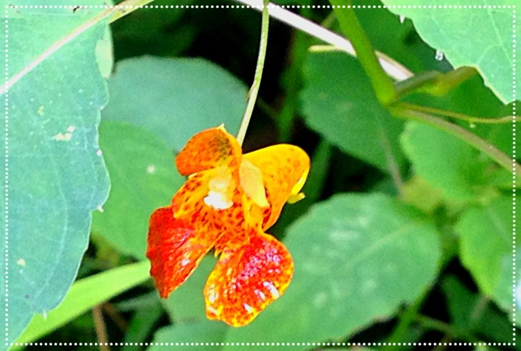Photo of Jewelweed (Impatiens capensis)