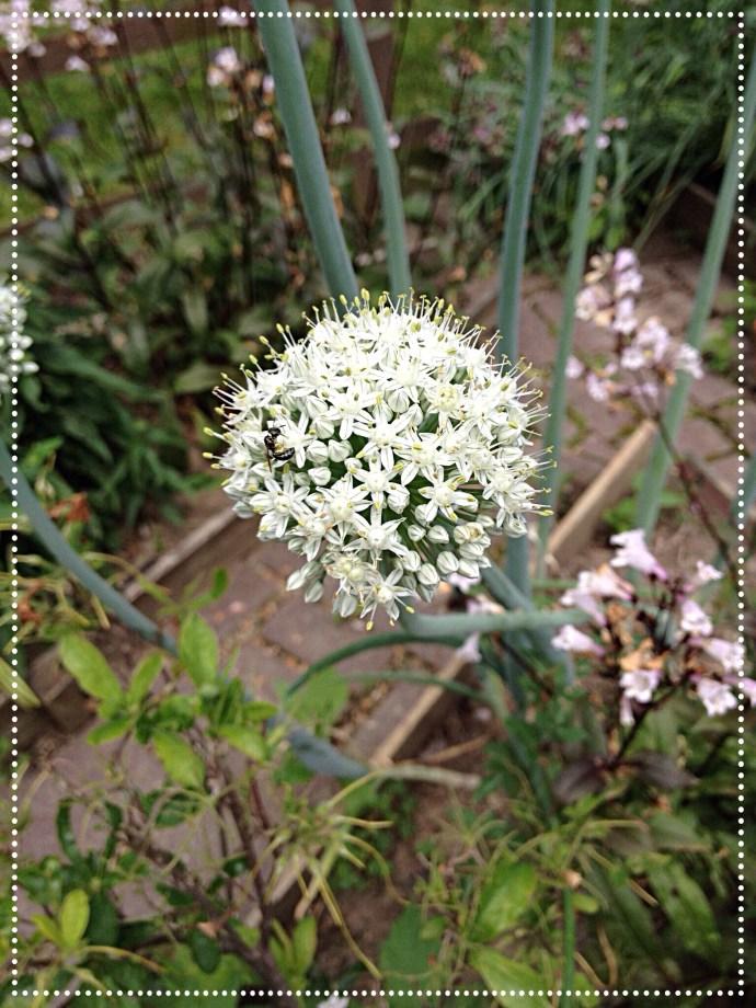 photo of white onion bloom