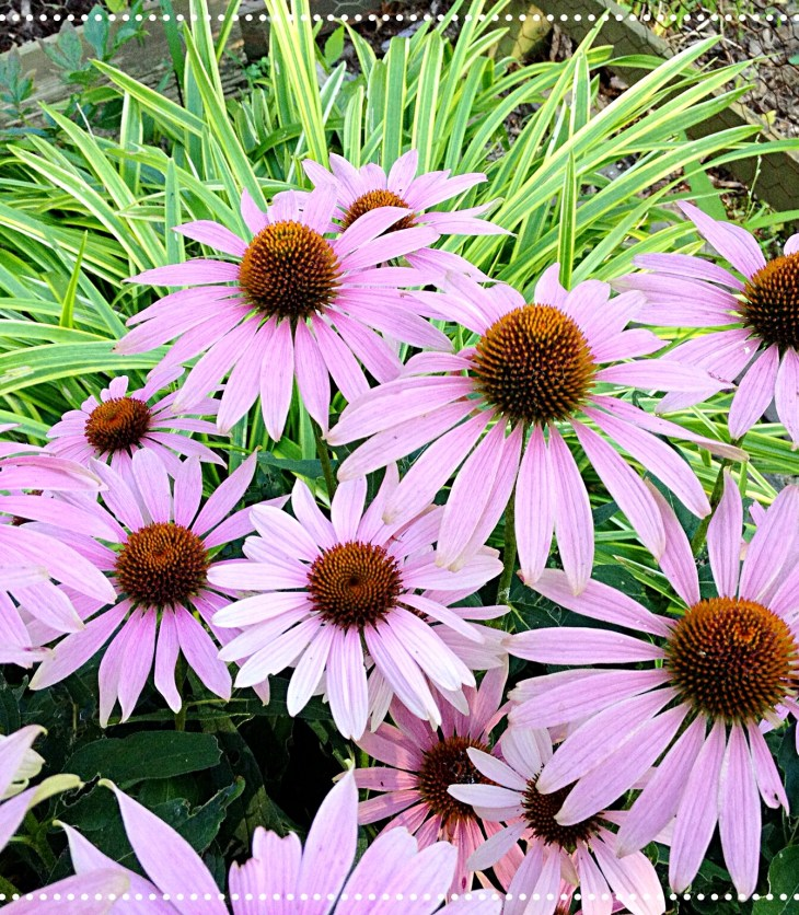 Photo of Purple Coneflower (Echinacea purpurea)