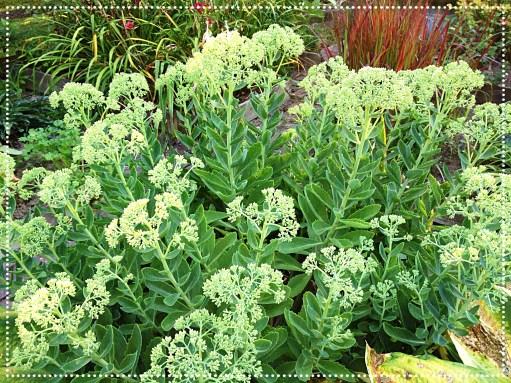 Photo of Stonecrop (Sedum 'Autumn Joy')