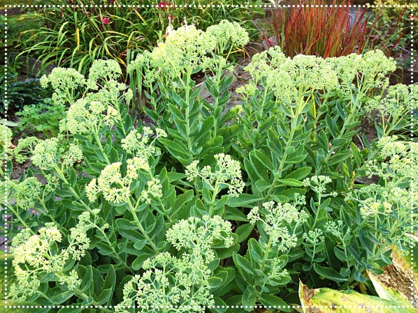 Photo of Stonecrop (Sedum 'Autumn Joy')