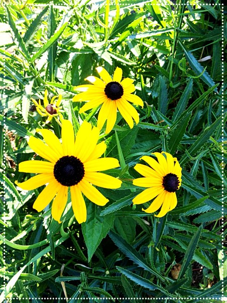 photo of Black-eyed Susan (Rudbeckia hirta)