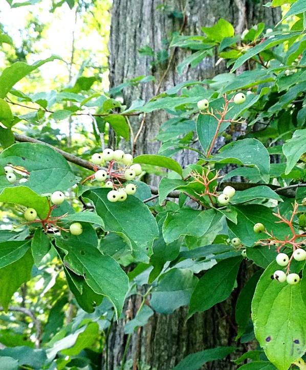 Red Osier dogwood (Cornus sericea)
