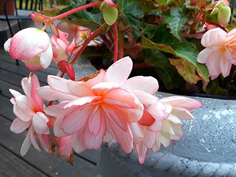 Angel wing double begonia