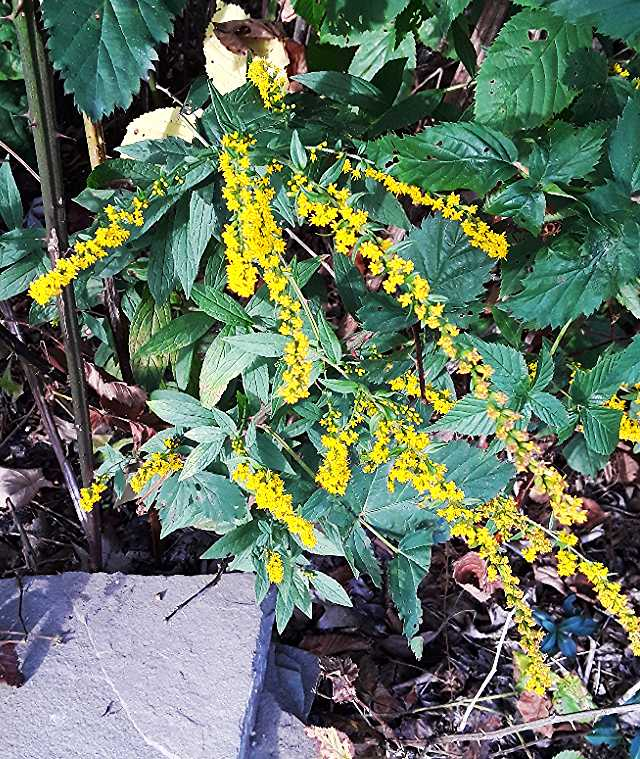 Goldenrod (Solidago spp.)