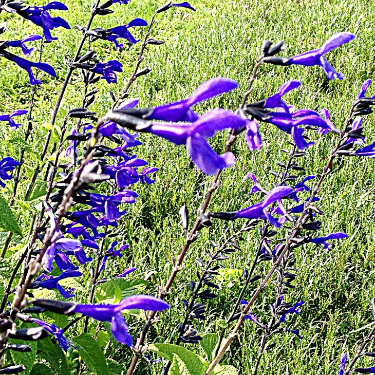"Salvia ""Black and Bloom"""