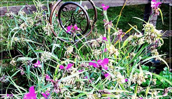 tradescantia blooms
