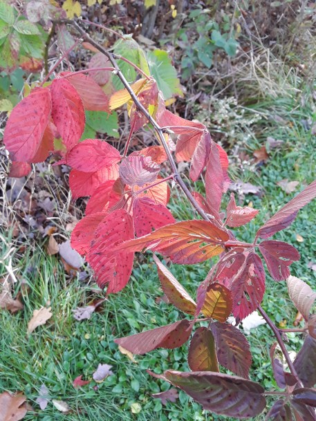 Virginia creeper shows off autumn foliage