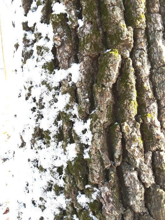 tree bark with snow and moss