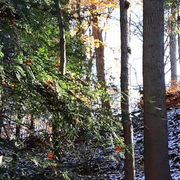 evergreen hemlocks, deciduous trees, and snow covered ground