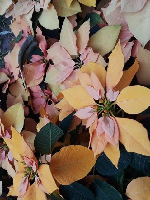 Poinsettia Autumn leaves shows apricot colored bracts in a warm apricot