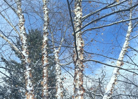 River birch in winter landscape