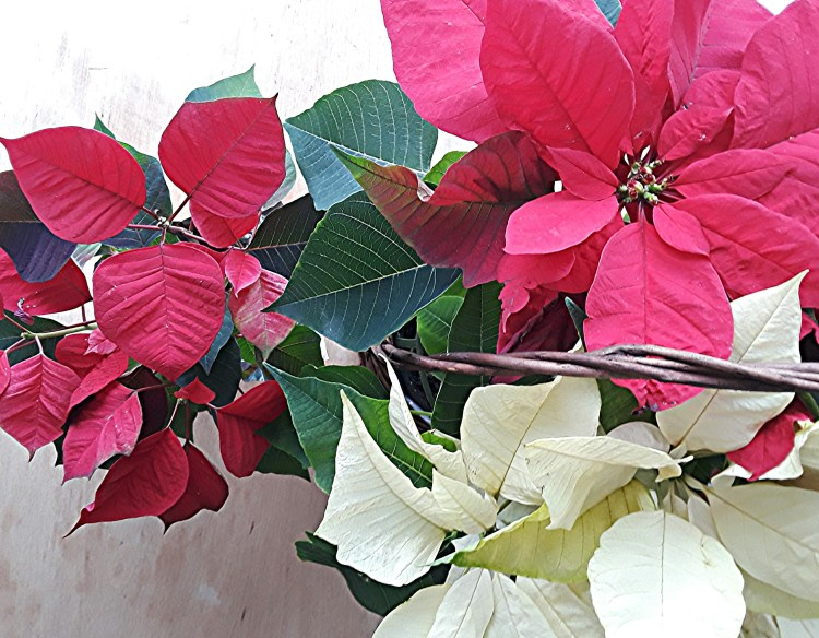 Red and white poinsettia in a basket