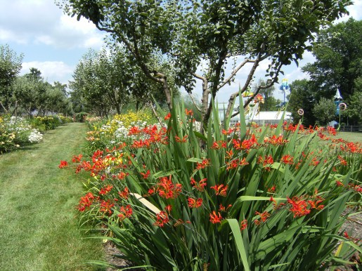 "Crocosmia ""Lucifer"" in mixed flower border"