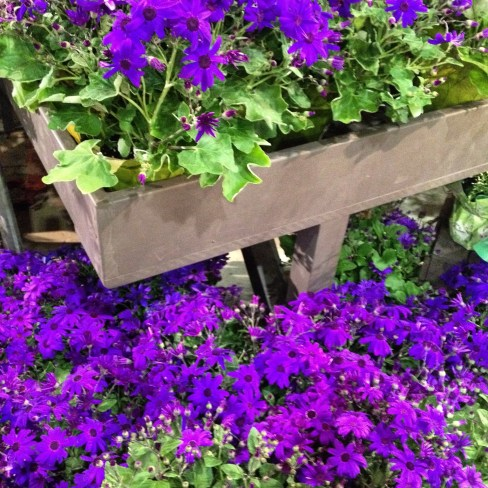 Senetti cineraria is a vivid purple color
