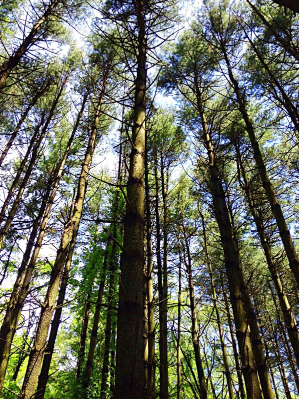 pine trees reach up to blue skies