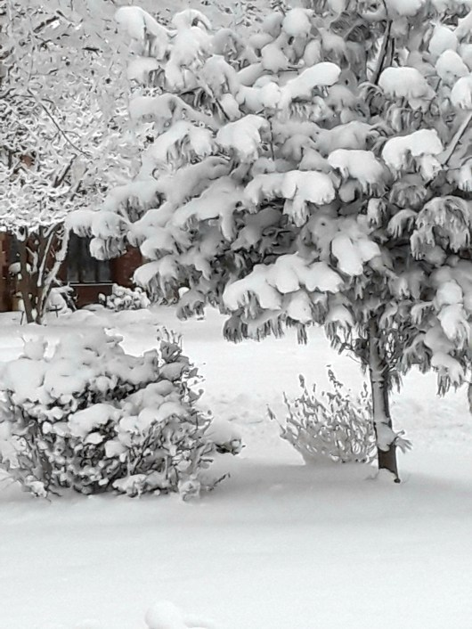 White pine covered in four inches of snow.