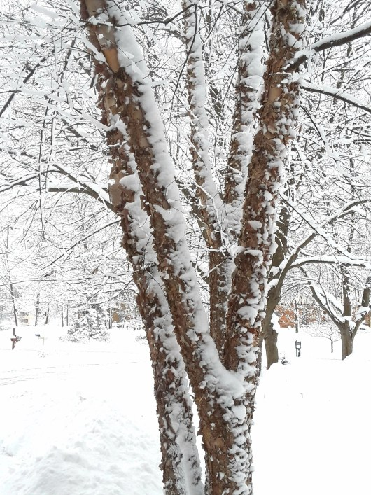 River birch covered with snow