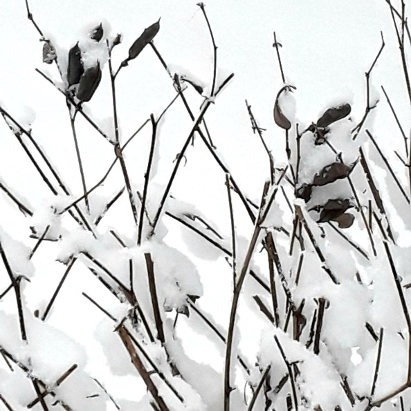 Dark brown Baptisia pea pods and branches covered with snow