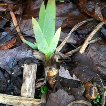 bearded iris shoots emerge from a rhizome