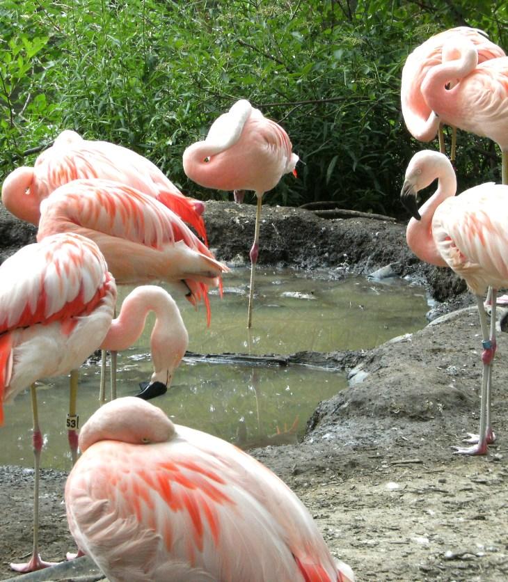 Flamingos gather around water to feed on shrimp