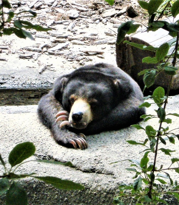 zoo bear laying its head on its paws
