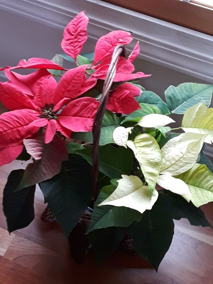 a red and white poinsettia in a basket happily absorbing the spring sunshine