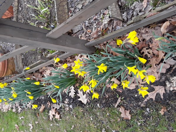 a row of bright yellow blooms of King Alfred narcissus