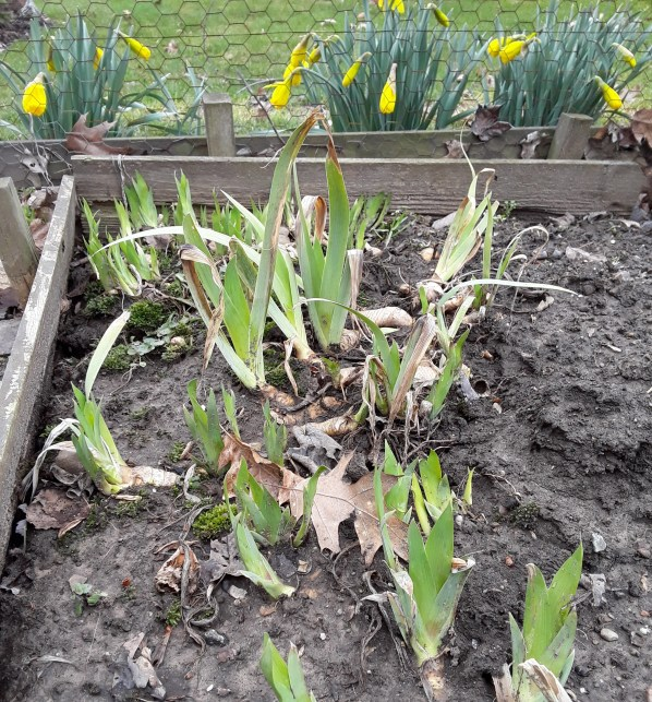 Bearded iris shoots are emerging from their rhizomes in early April