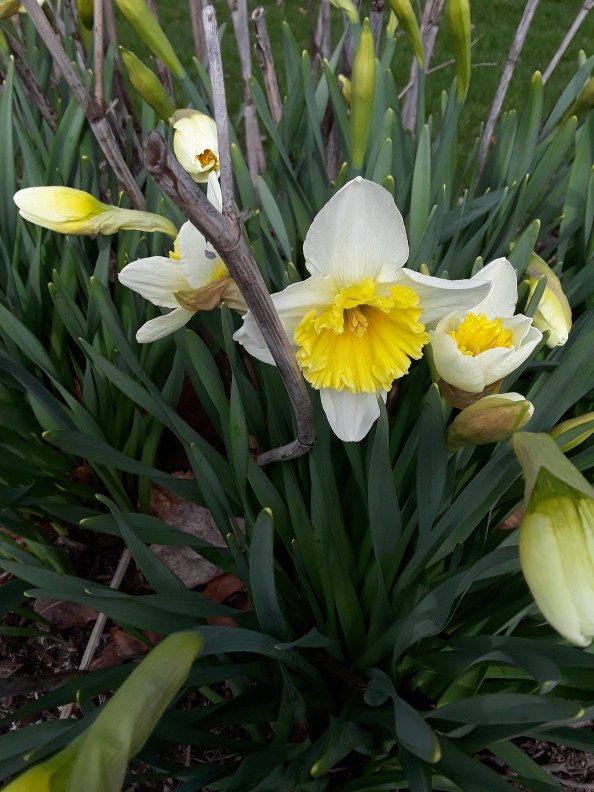 a daffodil with a ruffled yellow corona and white perianth