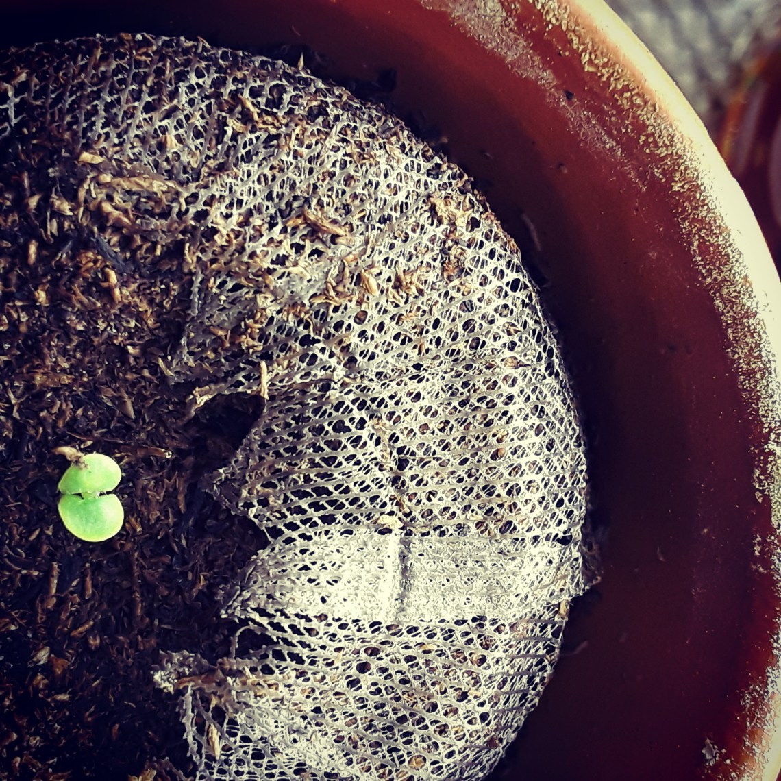 a basil seedling has escaped the seed coat and sent roots and a shoot through the soil