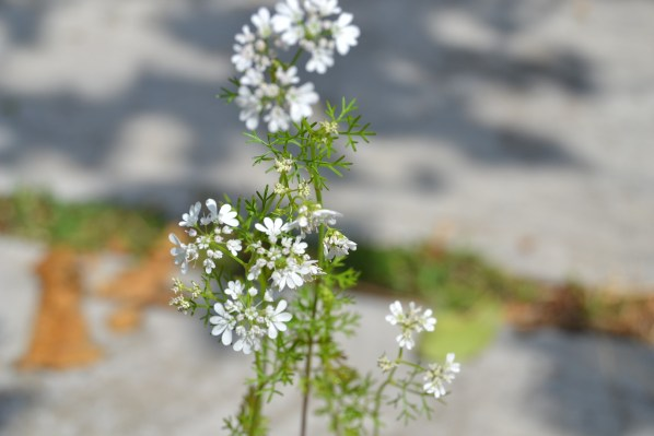 small white cliantro flowers